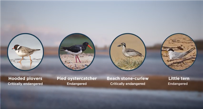 South Coast Shorebird Program